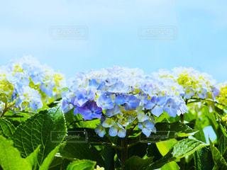 空,屋外,景色,草,紫陽花,梅雨,アジサイ