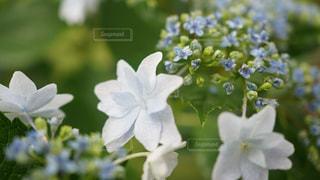花,雨,緑,白,紫,紫陽花,梅雨,インスタ