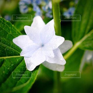 自然,花,雨,緑,白,紫,紫陽花,梅雨,インスタ,雨水