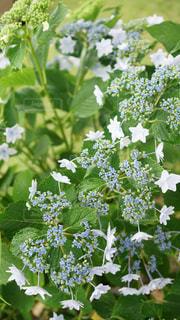 自然,花,雨,緑,白,紫,紫陽花,梅雨,草木,雨水