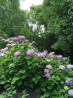 屋外,カラフル,樹木,紫陽花,梅雨,草木