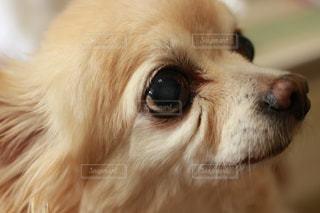 近くにカメラを見て茶色と白犬のアップの写真・画像素材[1213271]