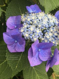 花,あじさい,青,紫,つぼみ,紫陽花,蕾,梅雨,咲きかけ