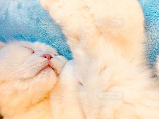 猫,動物,お部屋,屋内,部屋,室内,昼寝,白猫,まったり,寝姿,スコティッシュ,スコ