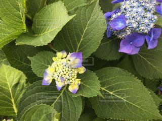 花,あじさい,葉っぱ,紫,つぼみ,紫陽花,蕾,梅雨,咲きかけ