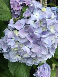 屋外,紫陽花,アップ,梅雨
