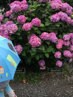 子ども,雨,傘,屋外,ピンク,あじさい,紫,紫陽花,あめ,日中,アジサイ