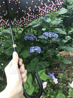 雨,傘,あじさい,手,紫陽花,梅雨,つゆ,アジサイ,カサ