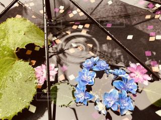 雨,傘,ピンク,あじさい,青,紫陽花,梅雨,つゆ,アジサイ,カサ,ふき,フキ