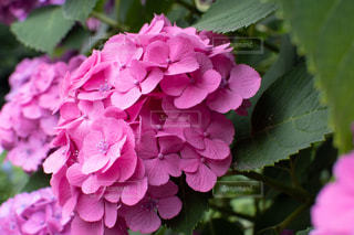 花,雨,ピンク,紫,紫陽花,梅雨