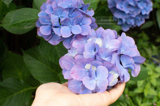 花,雨,青,紫,手,紫陽花,梅雨,肌