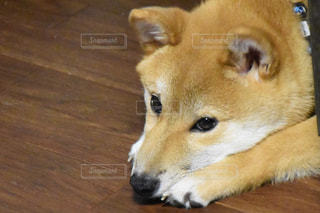 部屋にいる柴犬アップの写真・画像素材[1265425]
