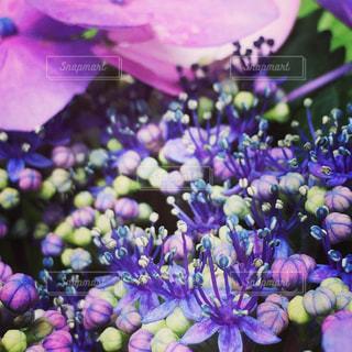 花,雨,屋外,青,紫,鮮やか,爽やか,紫陽花,初夏,梅雨,6月