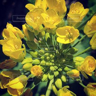 打ち上げ花火のような菜の花の写真・画像素材[1378006]