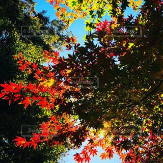 快晴の秋の紅葉の写真・画像素材[1631092]