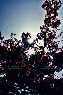 桜を見上げるの写真・画像素材[1833294]