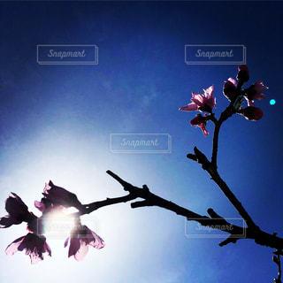 桜を透かして見るの写真・画像素材[1833302]
