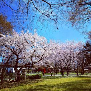 桜のきれいな公園の写真・画像素材[4336434]