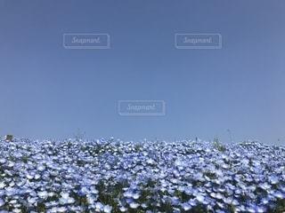 空とネモフィラの丘の写真・画像素材[1217962]