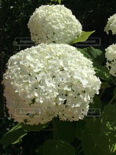 白,綺麗,紫陽花,梅雨,草木,アジサイ,ガーデン,そろそろ