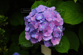 花,あじさい,紫,一輪,紫陽花,梅雨,草木,二色