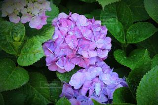 花,雨,屋外,東京,緑,フラワー,紫,夕方,お花,パープル,紫陽花,キラキラ,露,雫,草木,ガーデン