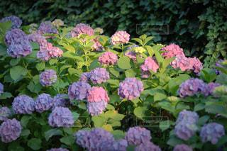 花,屋外,ピンク,フラワー,紫,夕方,お花,パープル,光,紫陽花,可愛い,たくさん,スポットライト,光と影,草木,ガーデン,色鮮やか