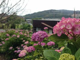 紫陽花,三ヶ根
