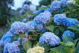 自然,雨,傘,庭,青,紫,紫陽花,梅雨,6月,アジサイ