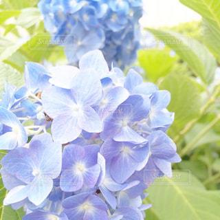 雨,屋外,青,紫陽花,梅雨,6月