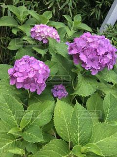雨,あじさい,紫陽花