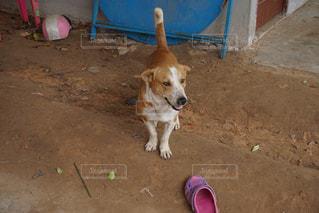 飼い犬の写真・画像素材[1218186]