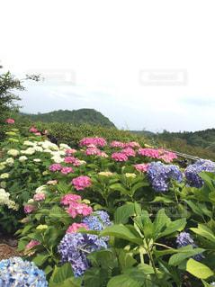 紫陽花 花 梅雨 雨 季節 6月 曇り ピンク 彩り