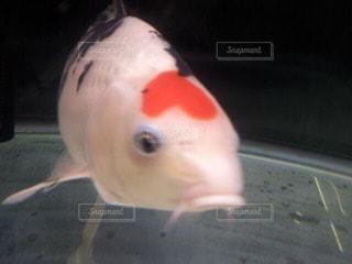 コイ 魚 ハートの写真・画像素材[42943]