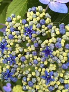 自然,花,屋外,紫陽花,草木,アジサイ