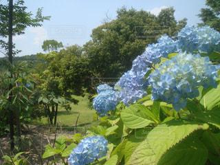 梅雨の合間の紫陽花の写真・画像素材[1224333]
