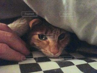 猫,布団,まったり,お家,だらだら,出られない,ぬくぬく