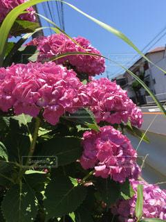 晴天,紫陽花,梅雨