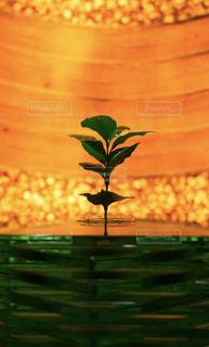 コーヒーの木▷の写真・画像素材[1224450]