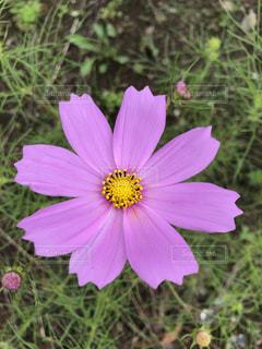 花,屋外,コスモス,お花
