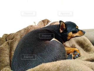 犬,動物,屋内,部屋,室内,昼寝,睡眠,哺乳類,ミックス犬,ワンコ,チワピン