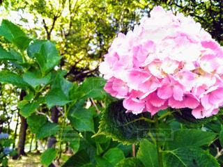 花,あじさい,草花,紫陽花,アジサイ