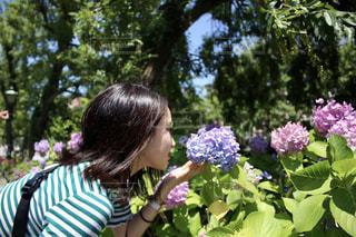 花,木,ピンク,緑,紫,鮮やか,観光,紫陽花,人,旅行,梅雨,長崎,ハウステンボス