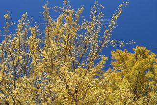 イチョウの木の写真・画像素材[2512036]
