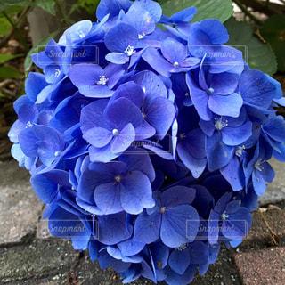 花,屋外,足元,紫,紫陽花,歩道,地面,梅雨,草木,咲き誇る,アジサイ,アフリカ バイオレット,すれすれ