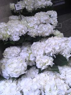 白,あじさい,紫陽花,梅雨,梅雨入り,アジサイ,バニラスカイ,真っ白