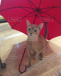 赤い傘の上に座っている猫の写真・画像素材[2206407]