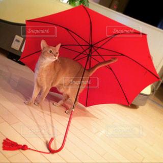 赤い傘に入る猫の写真・画像素材[2206448]