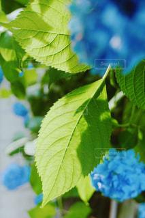 花,傘,葉,紫陽花,梅雨