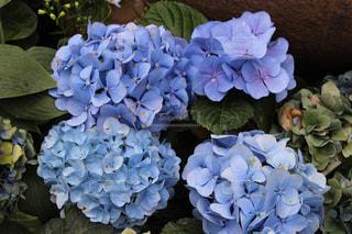 あじさい,紫,紫陽花,梅雨,6月